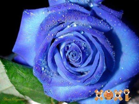 Новый сорт роз