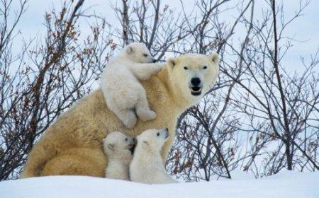 Полярные медведи выходят из берлог после зимовки
